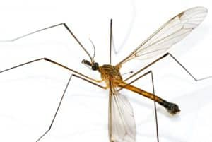 large mosquito
