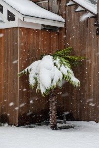 snow falling on a palm tree