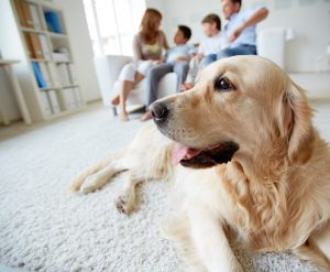A Golden Retriever in The Family Has a Lot of Pet Hair That Can Damage AC