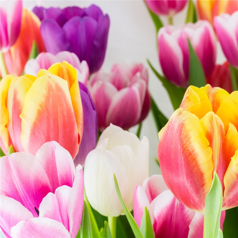 close up of tulips in a garden window
