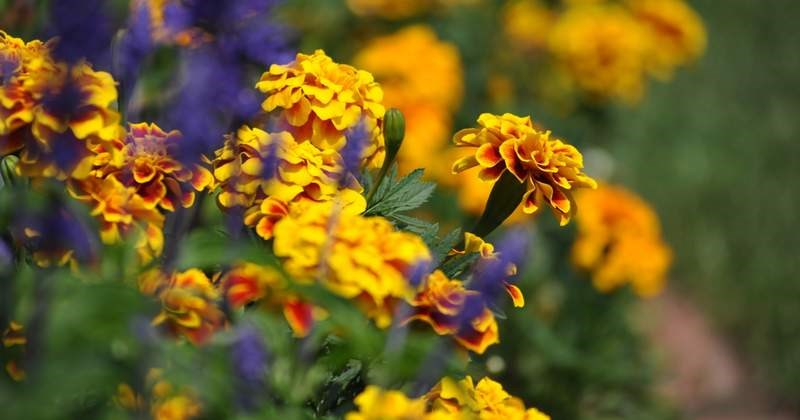 7 Plants That Help Keep Bugs at Bay